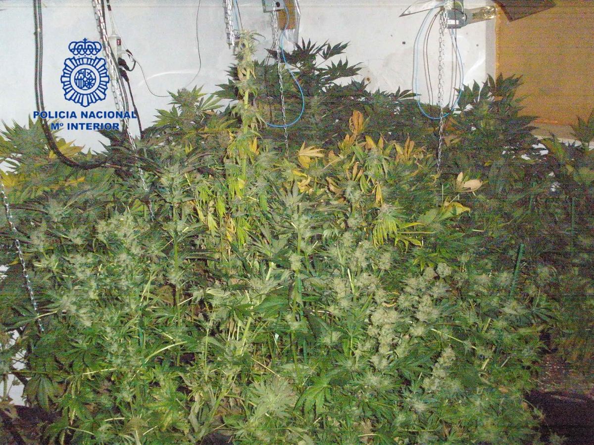 Un robo en una vivienda de Gandia destapa un punto de cultivo y venta de marihuana