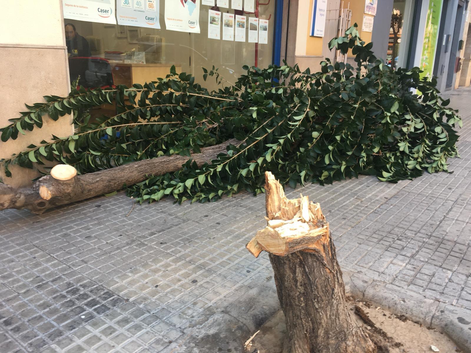 El fuerte viento de más de 70 km/h afecta a algunos árboles en la ciudad de Gandia
